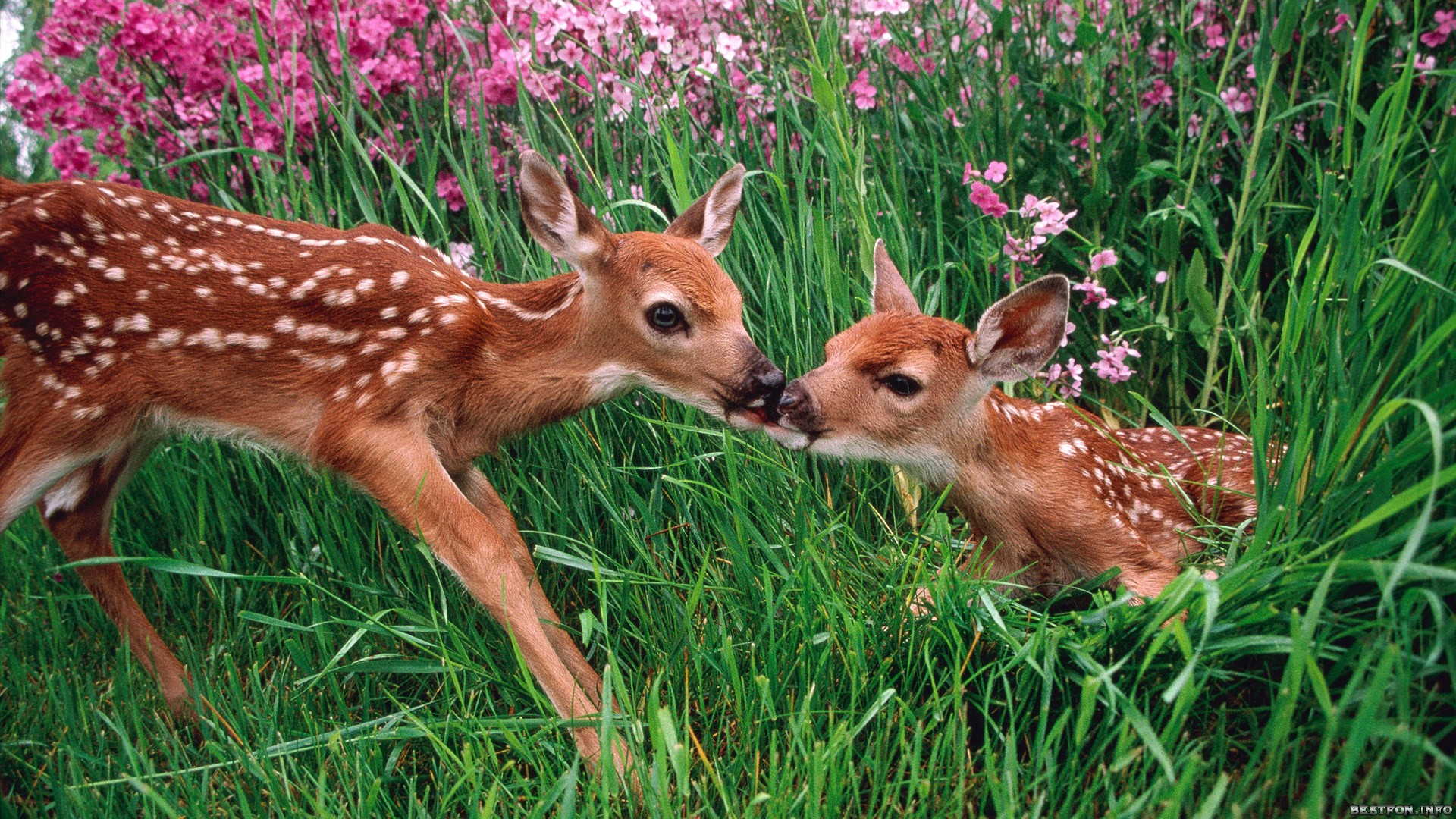 Olympic National Park, Washington, USA --- Roe deer and fawn in spring meadow --- Image by © Erwin & Peggy Bauer/Corbis